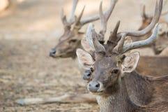 Rusa deer Royalty Free Stock Photos