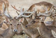 Rusa deer Stock Photography