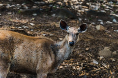 Rusa einfarbig oder Sambar-Rotwild stockfotos