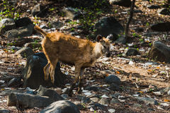 Rusa einfarbig oder Sambar-Rotwild stockfotografie