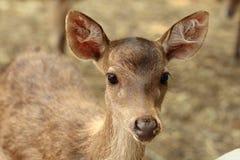 Rusa hjortar Fotografering för Bildbyråer