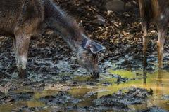 Rusa Unicolor or Sambar Deer. Doe quenching thirst at Ranthambore Tiger Reserve Royalty Free Stock Images