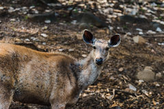 Rusa Unicolor or Sambar Deer Royalty Free Stock Images