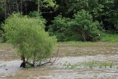 Rusa vatten som omger ett litet träd Fotografering för Bildbyråer