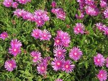 Ruschia Calvinia rosa färger Royaltyfri Bild