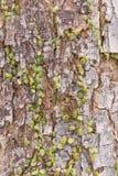 Ruscifolia Dischidia или миллион заводов сердец на дереве Стоковые Фотографии RF