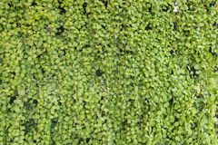Ruscifolia Dischidia или миллион сердец засаживают естественные картины fo Стоковые Изображения RF