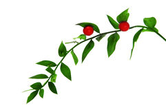 Ruscus aculeatus Royalty Free Stock Photo