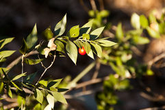Ruscus Aculeatus. Wild ruscus aculeatus in the forset under the sunlight Royalty Free Stock Photography