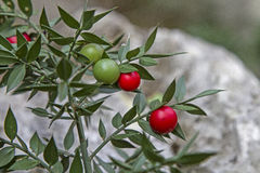 Ruscus aculeatus with berries Royalty Free Stock Photography