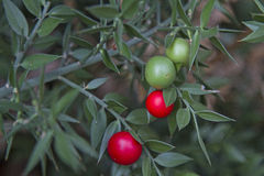 Ruscus aculeatus with berries Stock Images