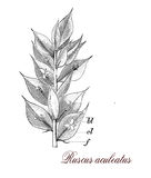 Ruscus aculeatus, botanical vintage engraving Royalty Free Stock Photo