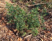 The Ruscus aculetus is a low, evergreen shrub stock photography