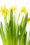 Rush daffodils & x28;Narcissus jonquilla& x29; in a pot on a white backgro Royalty Free Stock Photography