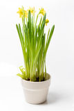 Rush daffodils & x28;Narcissus jonquilla& x29; in a pot on a white backgro Stock Image