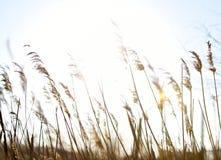 Rush on defocus with sun rays. In closeup Royalty Free Stock Photos