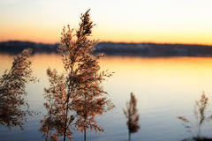 Rush in evening light. On river background Royalty Free Stock Photo