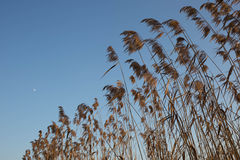 Rush grass by the lake with moon on clear sky Stock Photos