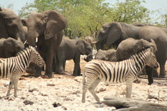 Rush hour. Around the waterhole Stock Image