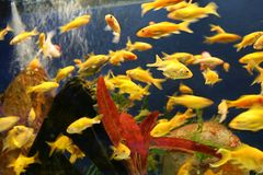 Rush Hour. Busy time in the Goldfish tank stock image
