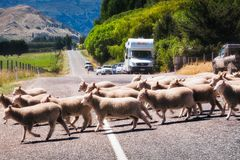 Rush hour in New Zealand. Queenstown, New Zealand -December 22, 2017: Rush hour in New Zealand: sheep rushing to cross the road while the cars are waiting in a Stock Photos