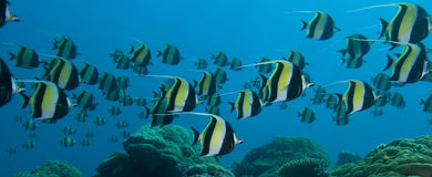 Rush hour over coral reef. A school of Moorish Idols race over a coral reef Royalty Free Stock Images