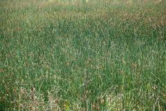 Rush Meadow Stock Image