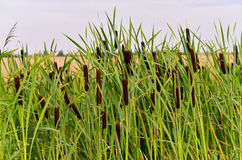 Rush reeds. Cluster of bull rush reeds in rural landscape Royalty Free Stock Photo