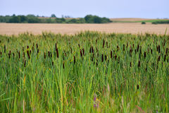 Rush reeds field. Field of rush reeds in rural landscape Stock Images