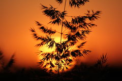 Rush silhouettes at sunset Stock Photography