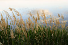 Rushes. Close-up in a cloudy day Royalty Free Stock Photo
