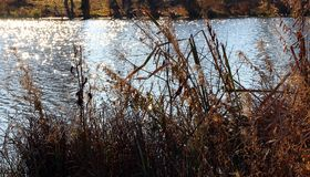 Rushes on the banks of the river. Stock Photo