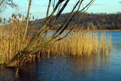 Rushes and bare tree on a lake Royalty Free Stock Image