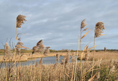 Rushes blowing in the wind in marshland Royalty Free Stock Photo