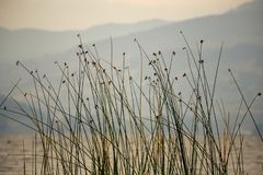 Rushes at the edge of lake Tota royalty free stock image