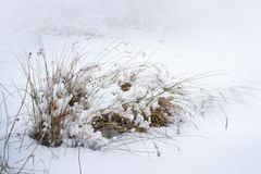Rushes or juncus grasses covered with snow, beautiful winter gar. Den, copy space Stock Photos