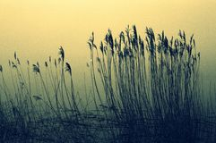 Rushes in a lake 2 Royalty Free Stock Photos