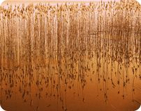 Rushes in a lake 1 Stock Image