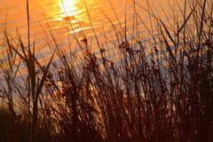 Rushes at golden lake sunset Stock Photos