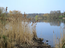 Rushes and the lake. A view of some Rushes with the lake at Mote park in the background royalty free stock images