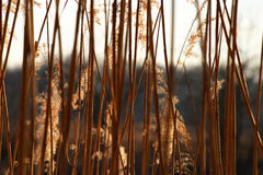 Rushes near pond Royalty Free Stock Photos
