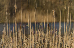 Rushes near pond in Usti nad Labem city Royalty Free Stock Photos