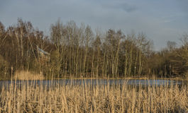 Rushes near pond in Usti nad Labem city Royalty Free Stock Photo
