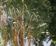 Rushes Beside Pond Stock Image