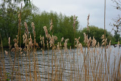 Rushes, River Yare, Norfolk Broads, England Stock Photography
