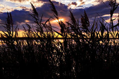 Rushes silhouetted in the Sunset. The Camargue Royalty Free Stock Photo