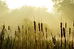 Rushes at sunrise Stock Photos