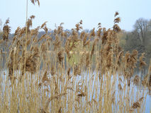Rushes. A view of some Rushes with the lake at Mote park in the background Stock Images