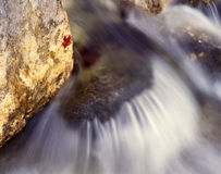 Rushing Water (H). A canyon maple leaf stuck to a rock in a creek in Central Texas's Lost Maples State Natural Area stock photography