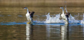 Rushing Western Grebes Royalty Free Stock Images